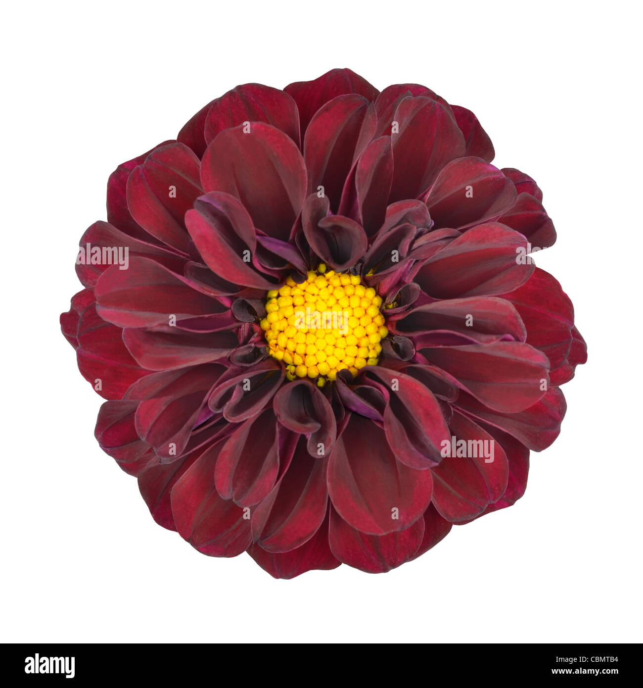 Red Dahlia Flower with Yellow Center Isolated on White Background ...