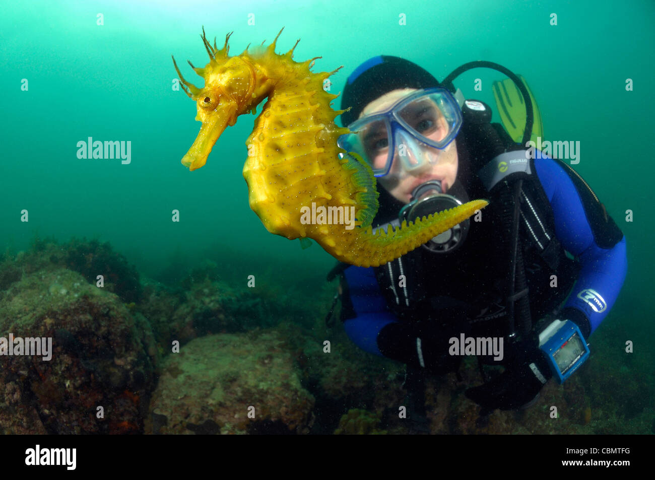 Long-snouted Seahorse and Diver, Hippocampus guttulatus, Piran, Adriatic Sea, Slovenia - Stock Image