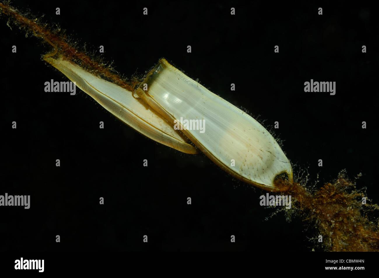 Bamboo Shark Egg | Egg Of A Shark Stock Photos Egg Of A Shark Stock Images Alamy