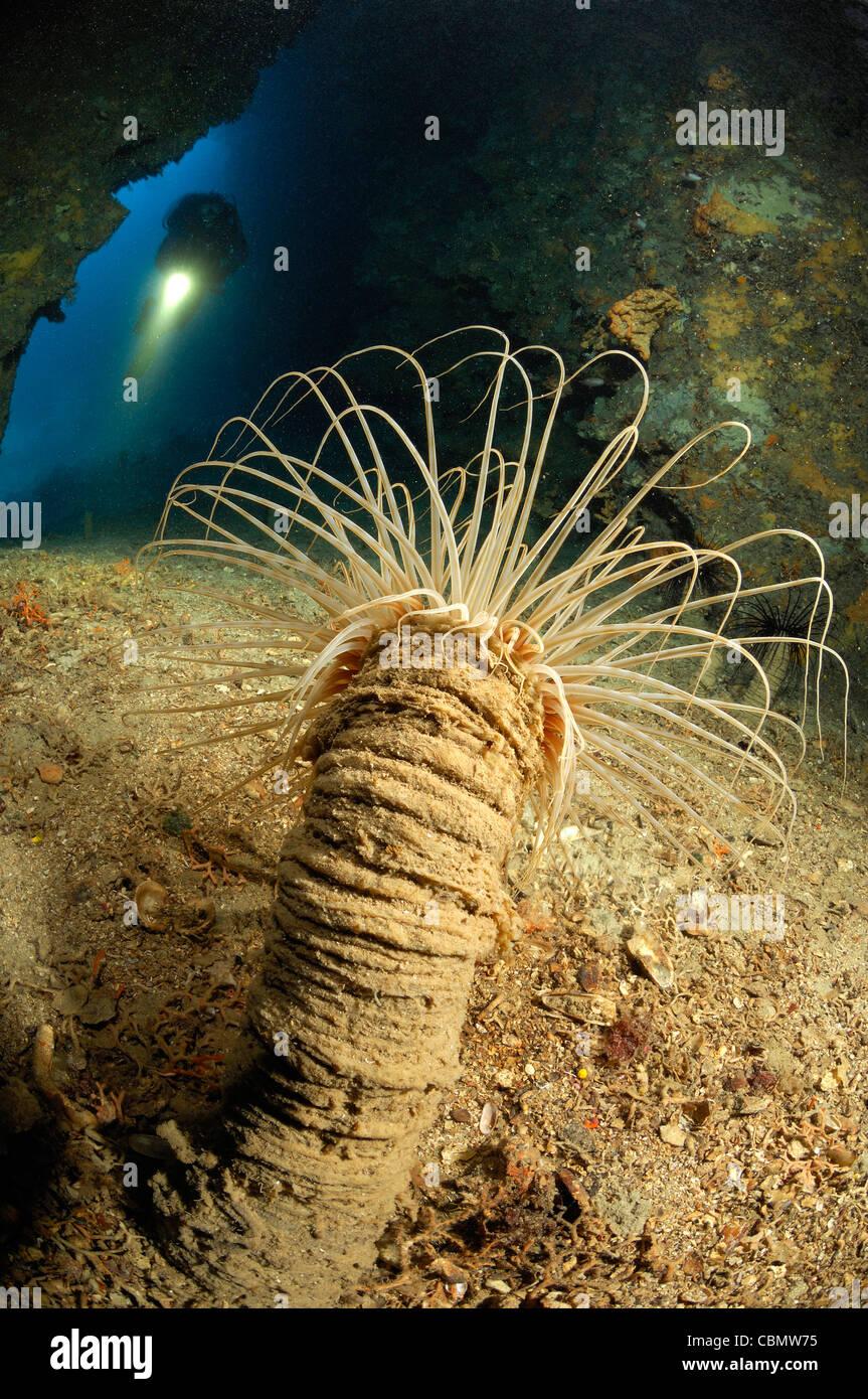 Tube Anemone in Cave, Cerianthus membranaceus, Solta Island, Adriatic Sea, Croatia - Stock Image