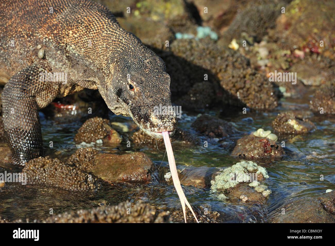 Komodo Dragon, Varanus komodoensis, Rinca, Komodo National Park, Indonesia - Stock Image