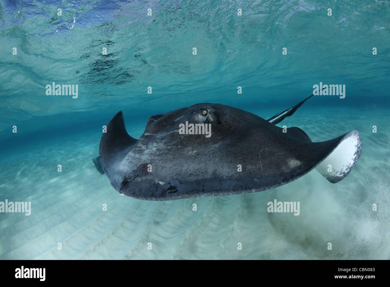 Southern Stingrays, Dasyatis americana, Sandbar, Grand Cayman, Cayman Islands Stock Photo