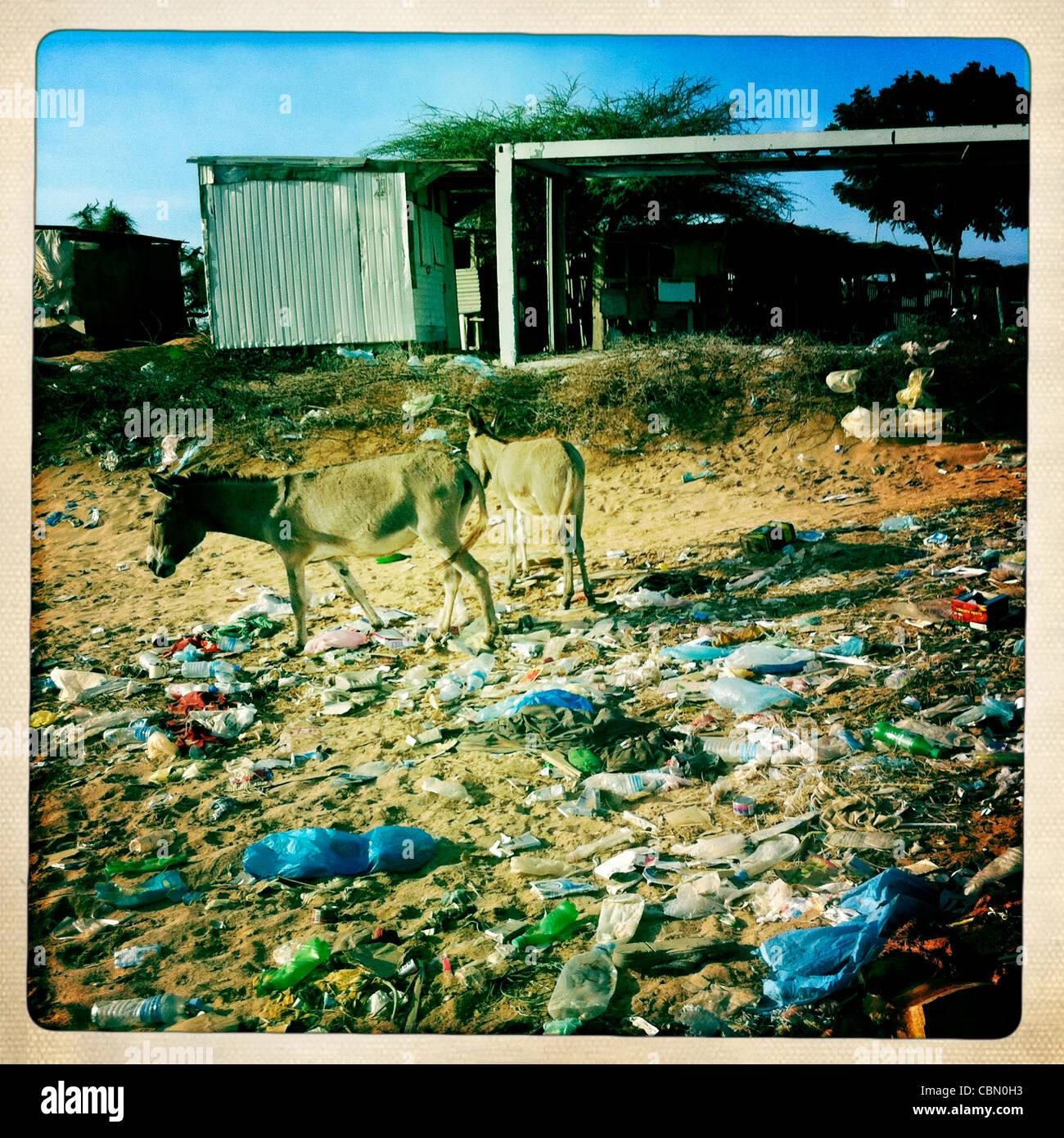 Mules Wandering Among Wasteland In Zeila Somaliland - Stock Image