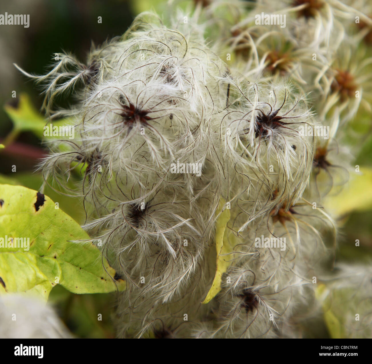 Wild Clematis vitalba, a climbing shrub also called Old man's beard and Traveler's Joy - Stock Image
