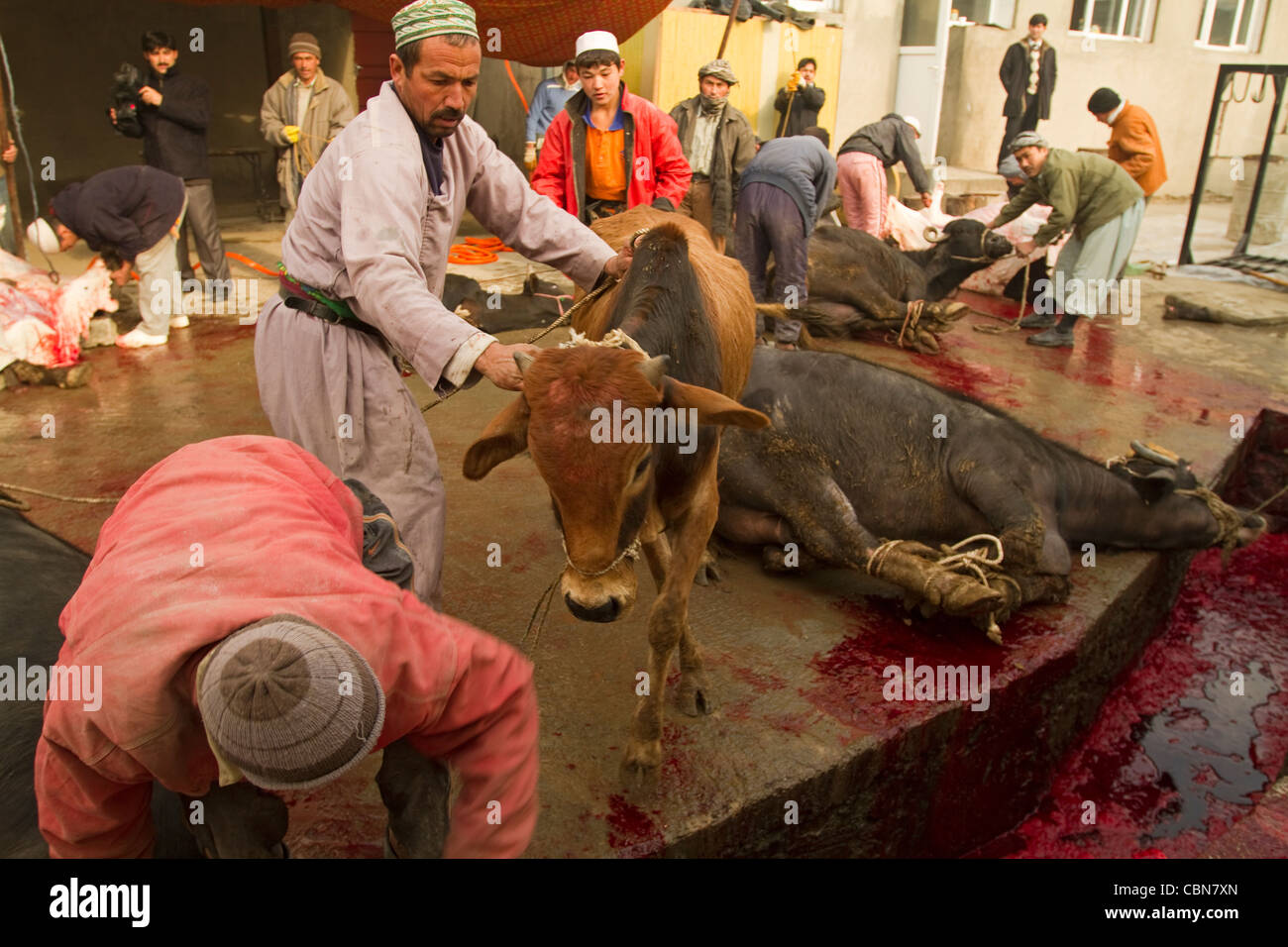 Butchers killing cattles for in Feast of Sacrifice Kabul Afghanistan - Stock Image