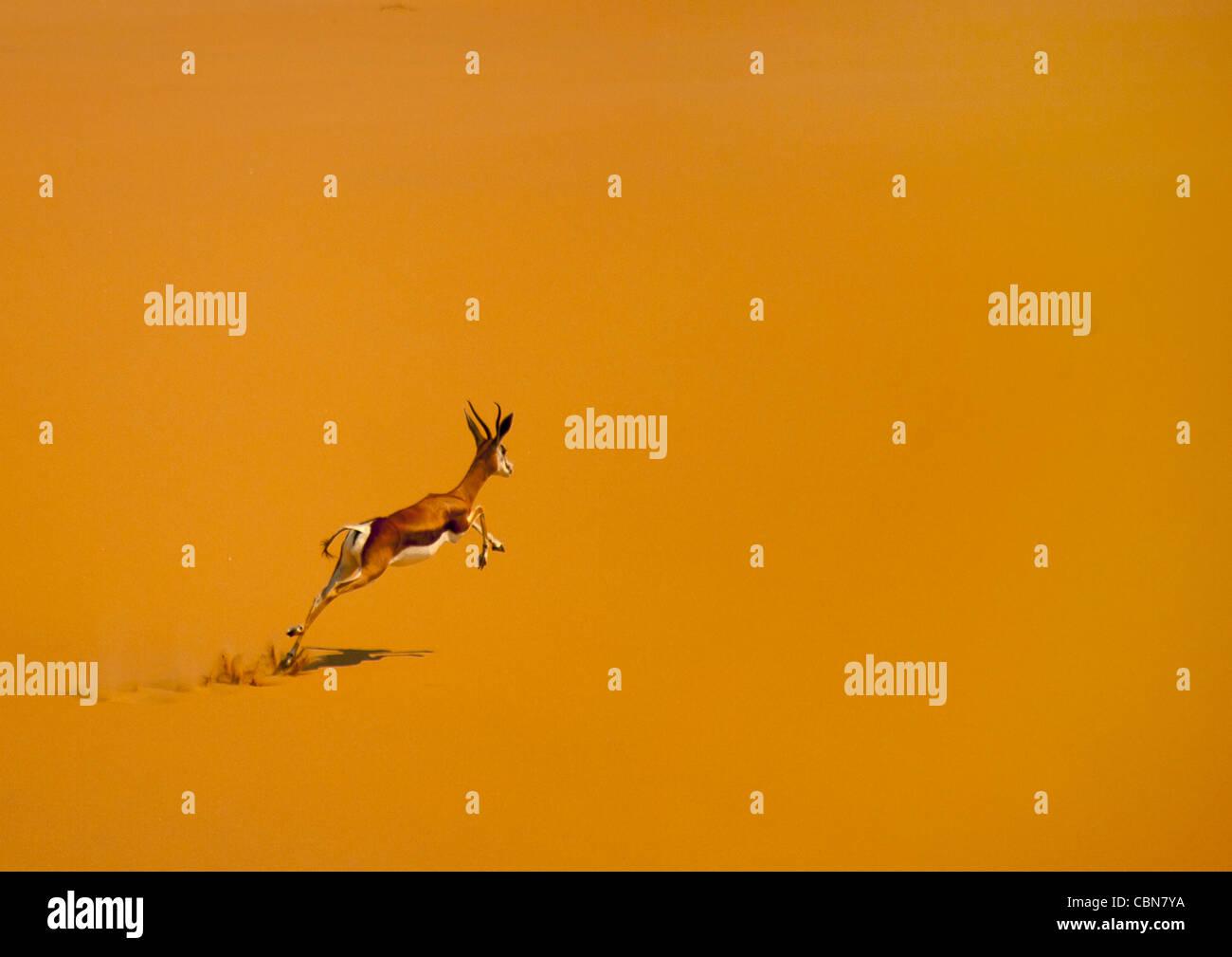 Springbok Jumping, Namib Desert, Angola - Stock Image