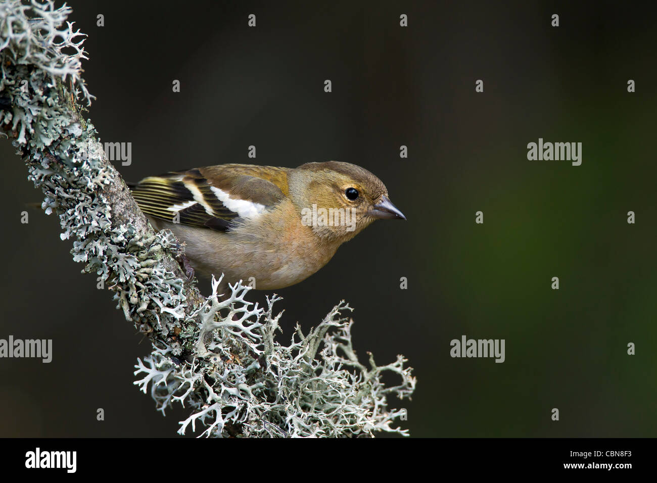 Chaffinch (Fringilla coelebs) female perched on branch covered with lichen, Sweden - Stock Image