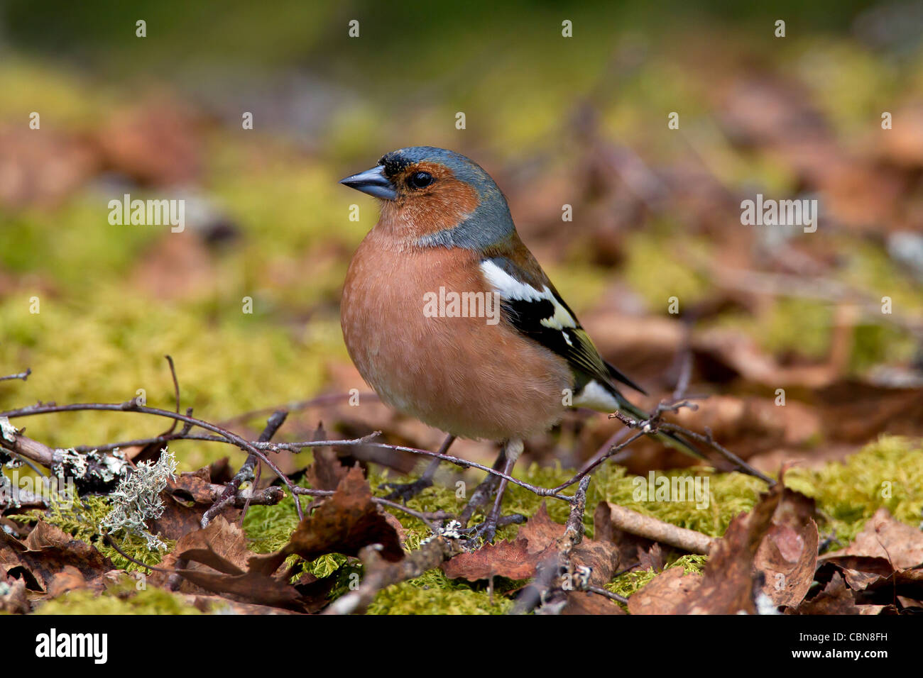 Chaffinch (Fringilla coelebs) male foraging on the ground in autumn forest, Sweden - Stock Image
