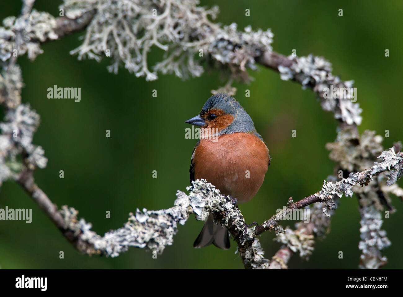 Chaffinch (Fringilla coelebs) male perched on branch covered with lichen, Sweden - Stock Image