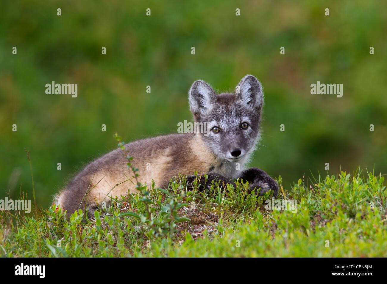 Tundra Arctic Fox In Summer Nest In Tundra ...