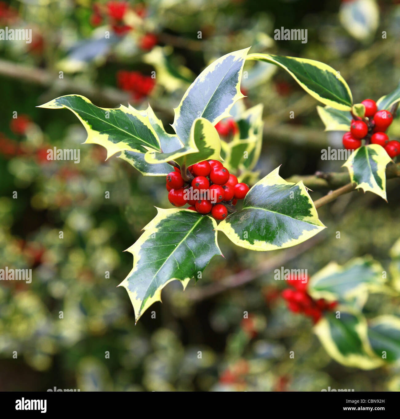 Red berries and yellow and green leaves of a variegated Common Holly, Ilex aquifolium 'Madame Briot' - Stock Image