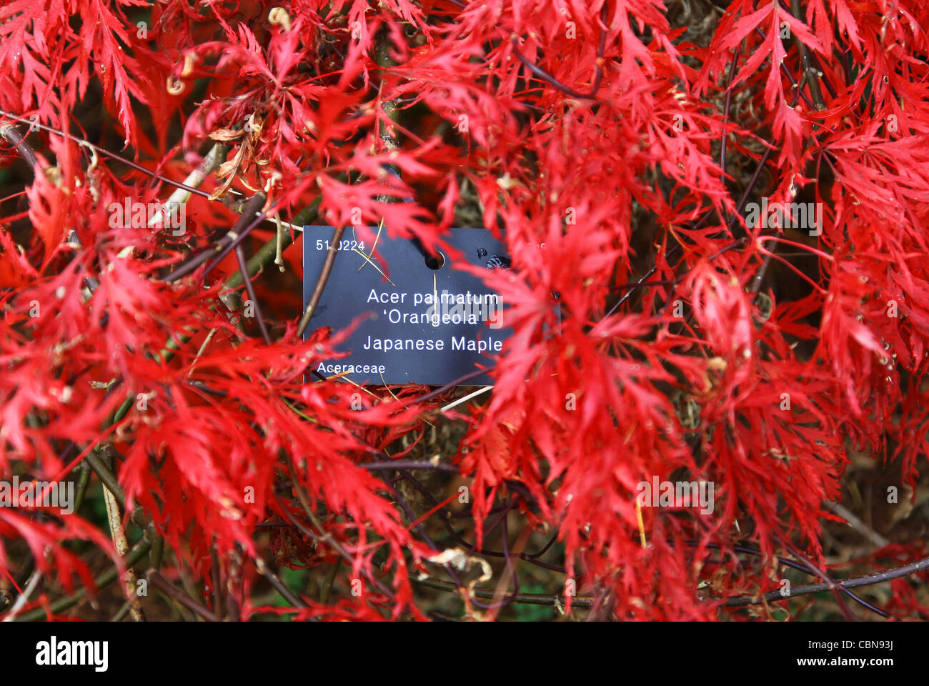 The Red Leaves Of A Japanese Maple Tree Acer Palmatum Orangeola At