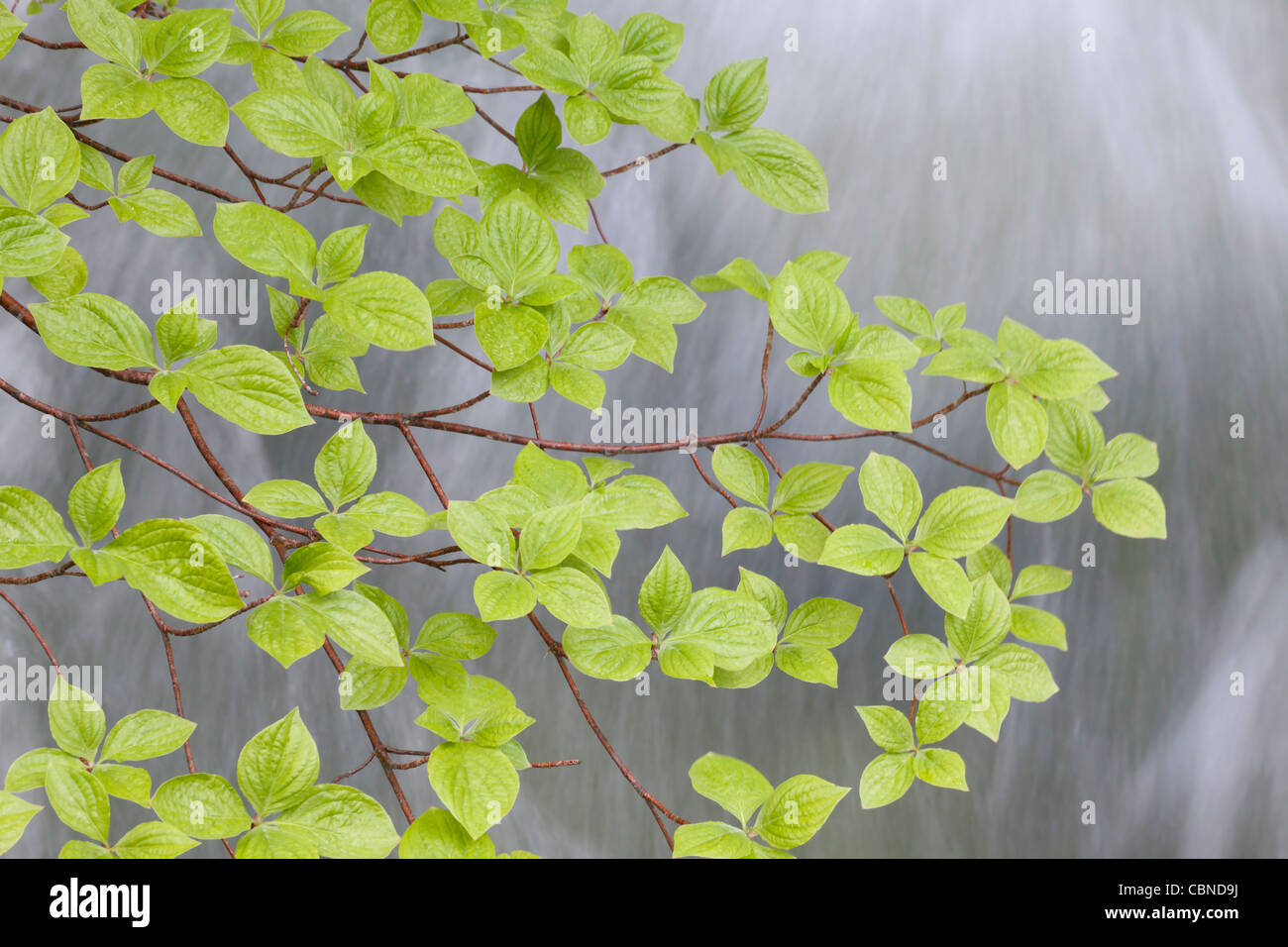 Pacific Dogwood (Cornus nuttalii) branch over Rainbow Creek, Stehekin, Washington - Stock Image