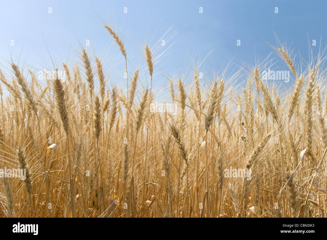 USA; Washington; Palouse Hills; Wheat Field - Stock Image