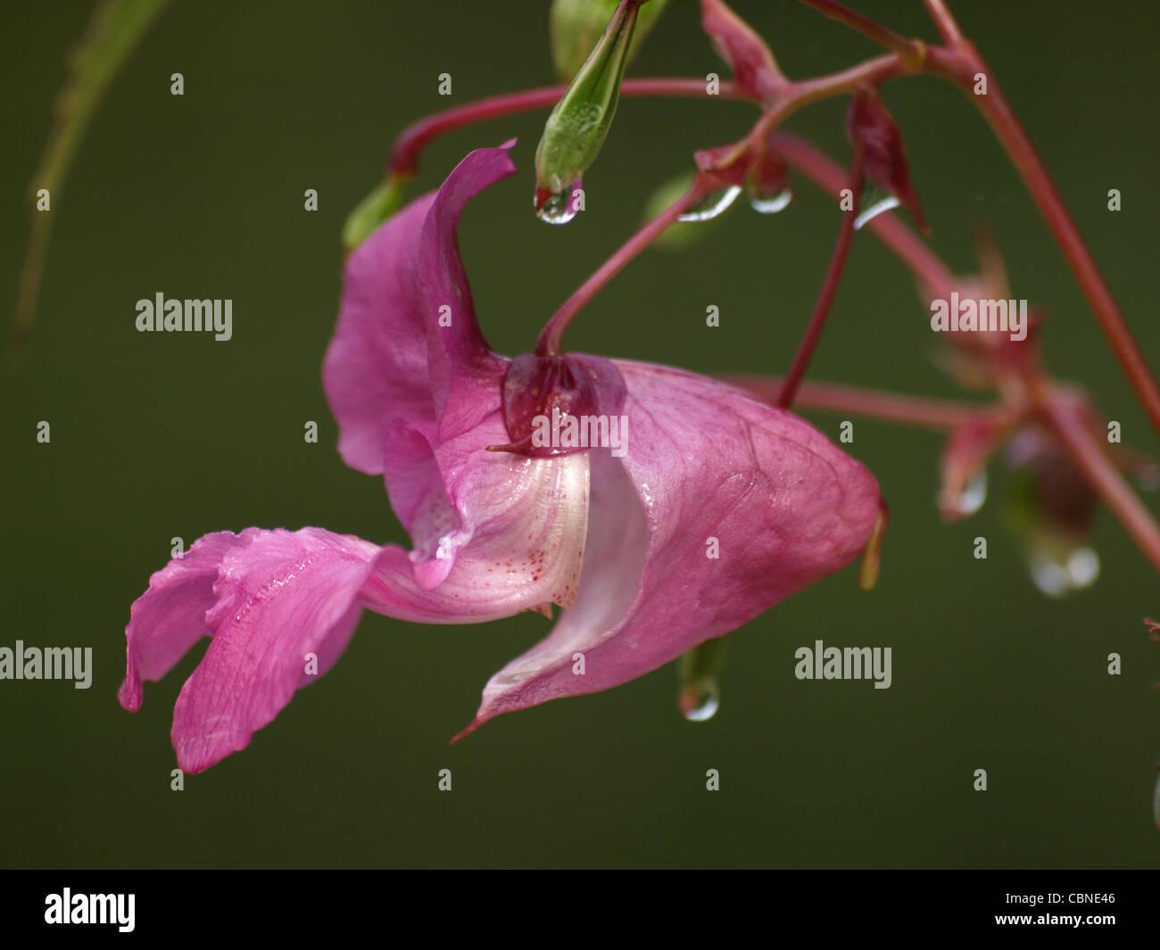 bloom Policeman´s Helmet, Bobby Tops, Himalayan Balsam with drops / Impatiens glandulifera / Drüsiges Springkraut mit Tropfen Stock Photo