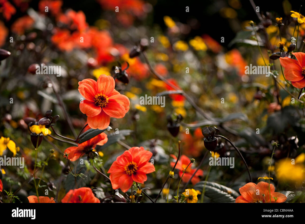 Dahlia Mix Stock Photos & Dahlia Mix Stock Images - Alamy