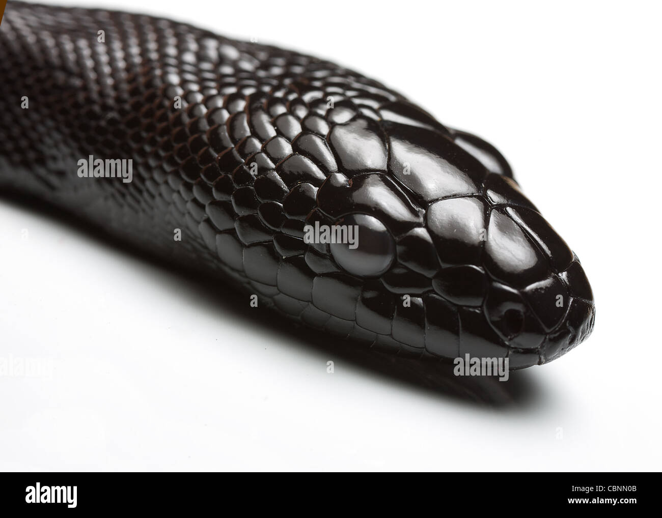 juvenile black headed python - Stock Image