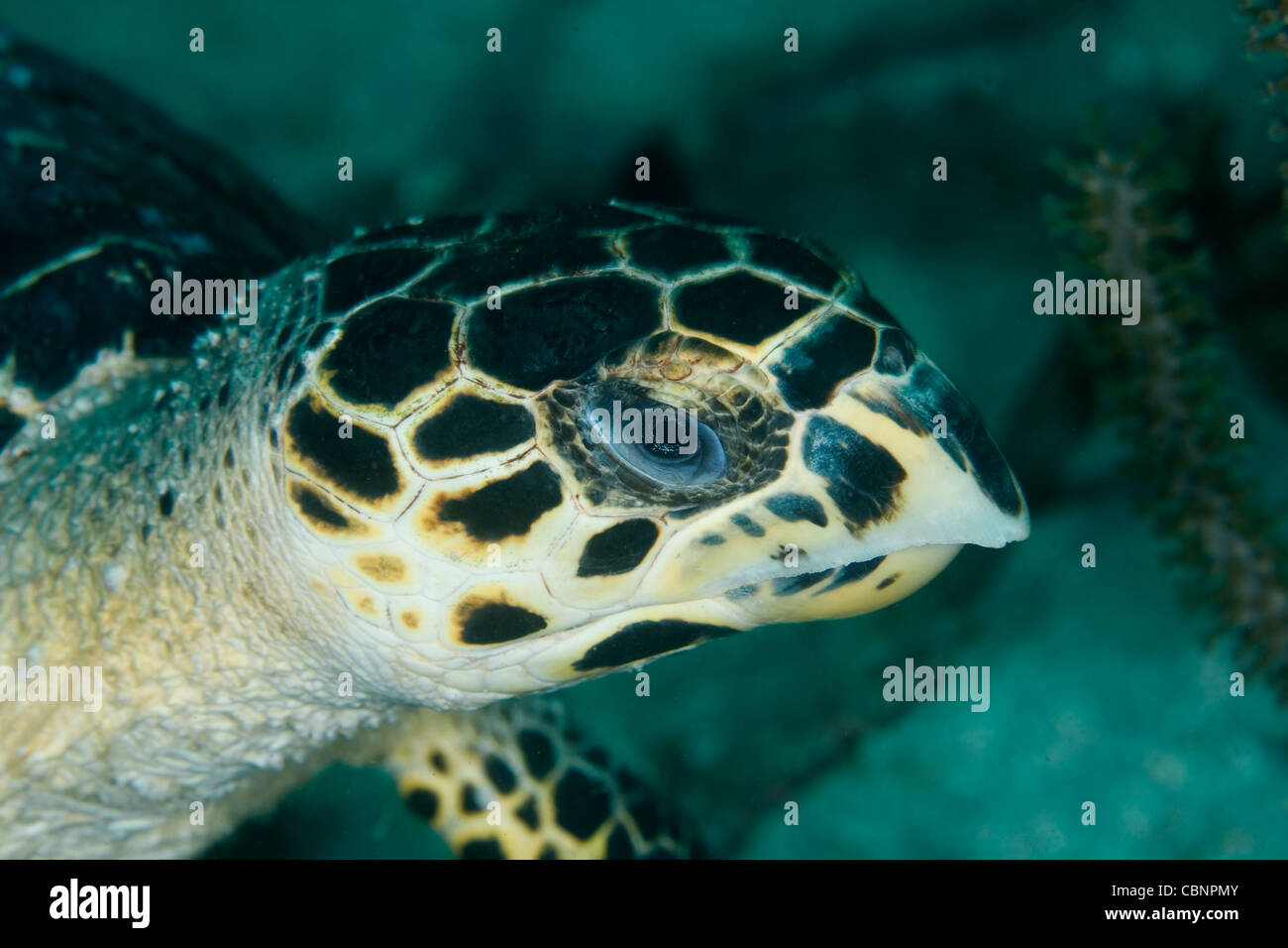 Close-up of a sea turtle in the Caribbean Sea Stock Photo