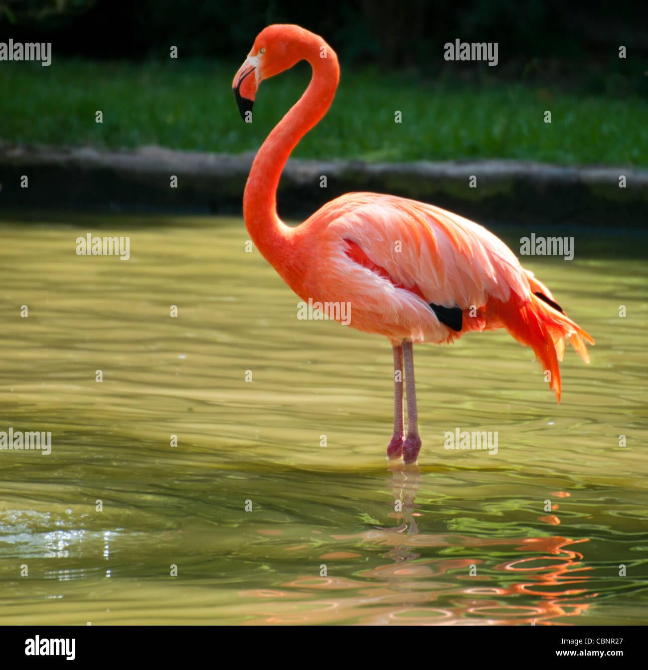 Beautiful Flamingo standing on two foot Stock Photo