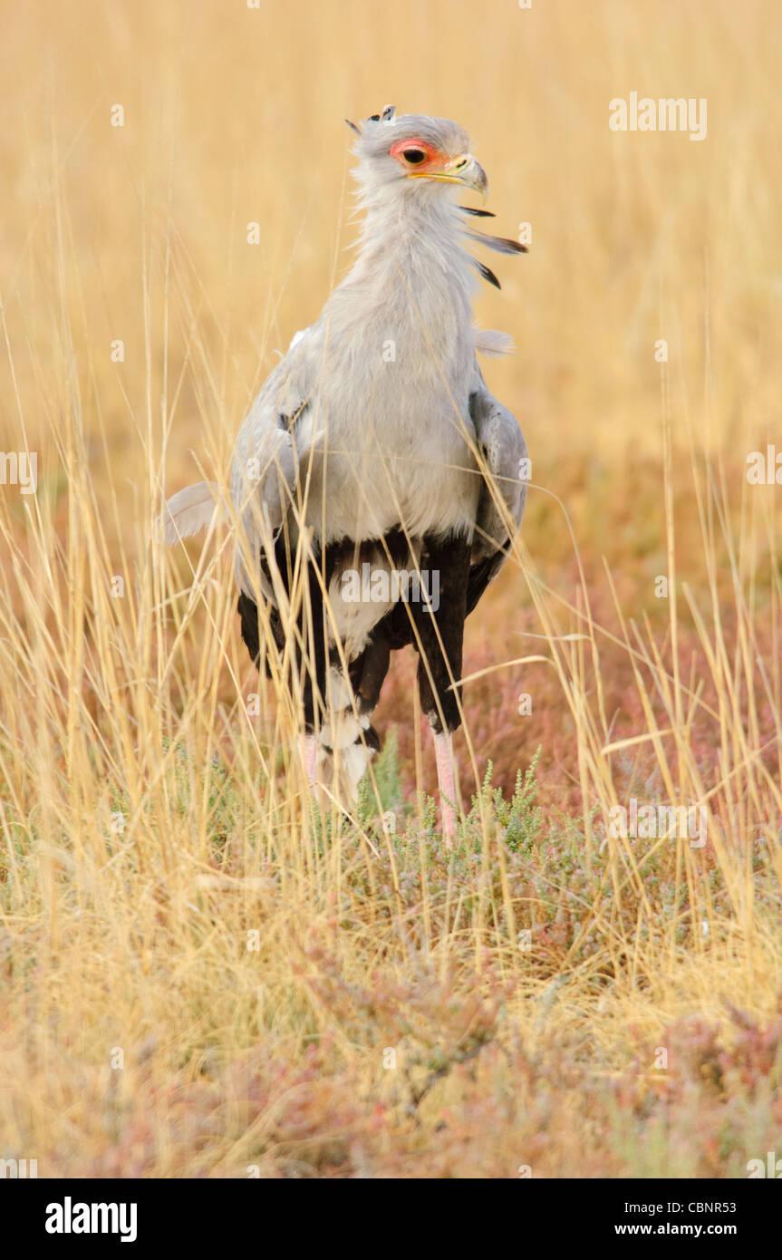 Secretarybird in Etosha National Park, Namibia. - Stock Image