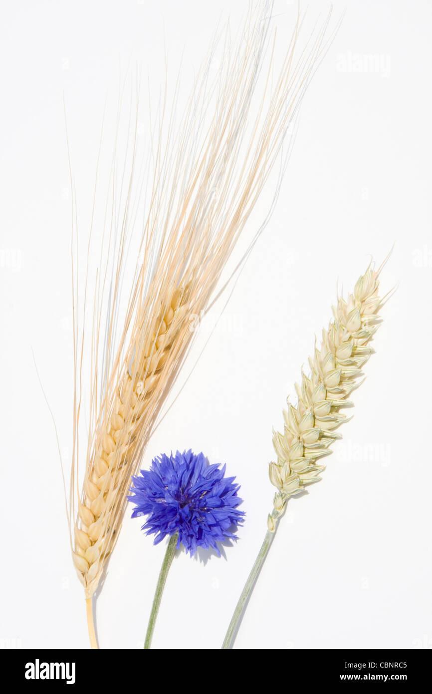 Rye, wheat and cornflower - Stock Image