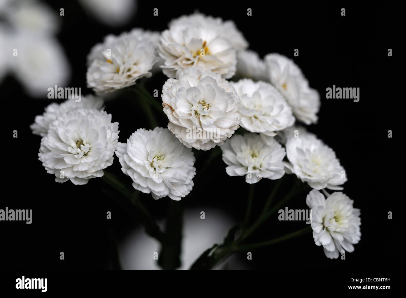 Tall White Flowers Stock Photos Tall White Flowers Stock Images