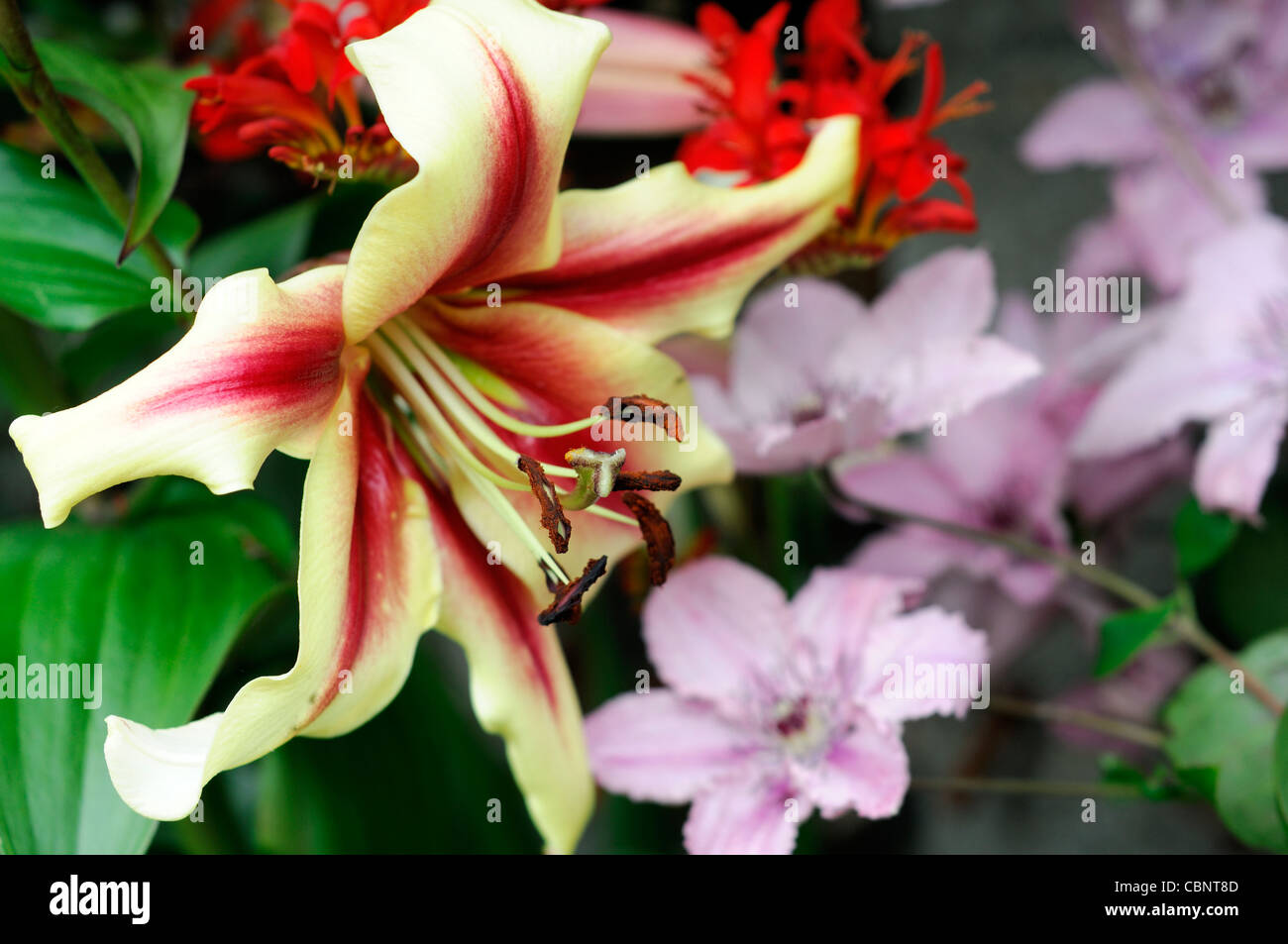 Tree Lily Stock Photos Tree Lily Stock Images Alamy