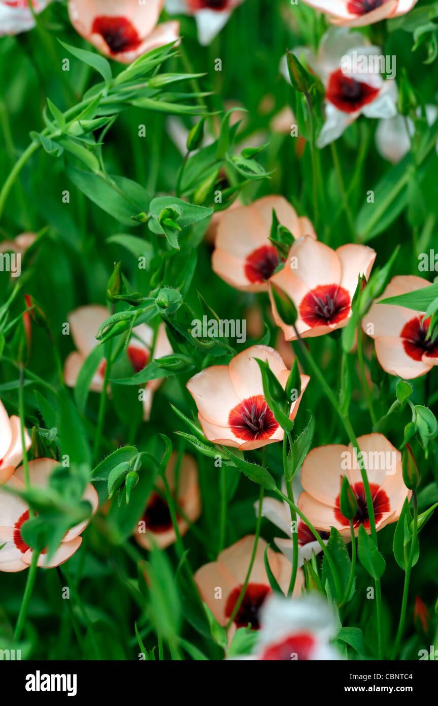 Linum Grandiflorum Charmer Salmon Flowers Flowering Perennials