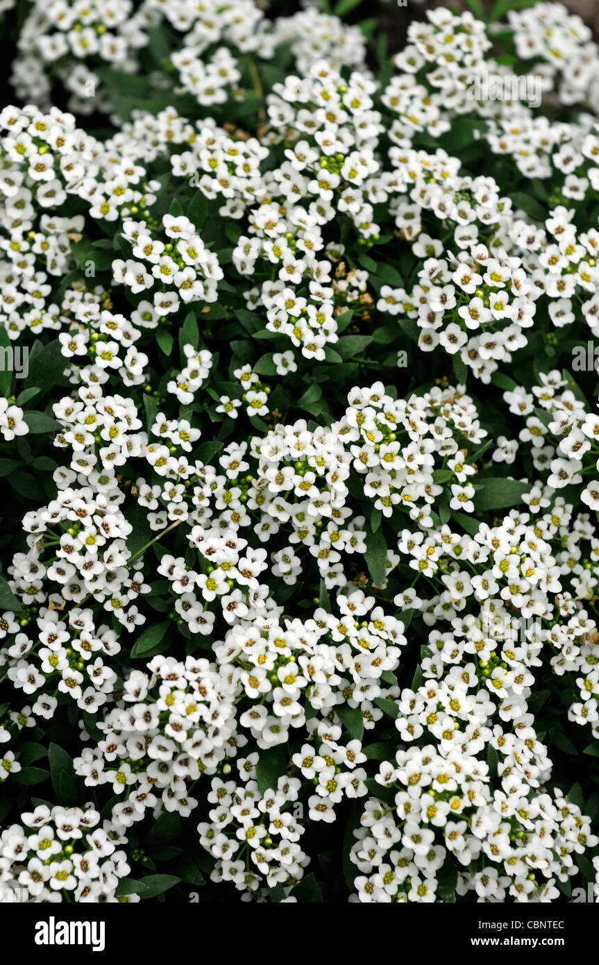 Lobularia Maritima Sweet Alyssum Golf Alison Low Growing Flowering