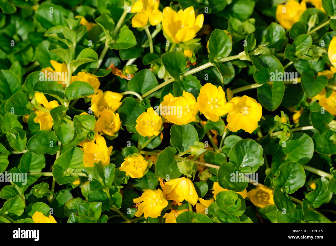 Lysimachia nummularia creeping jenny summer closeup plant portraits lysimachia nummularia creeping jenny summer closeup plant portraits yellow flowers petals spreading groundcover blooms blossoms mightylinksfo