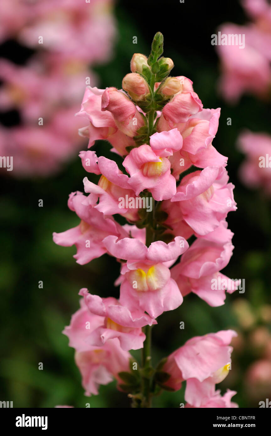 Pink Snapdragon Stock Photos Pink Snapdragon Stock Images Alamy