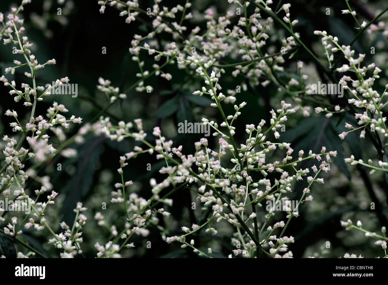 White Lactiflora Flowers Stock Photos White Lactiflora Flowers