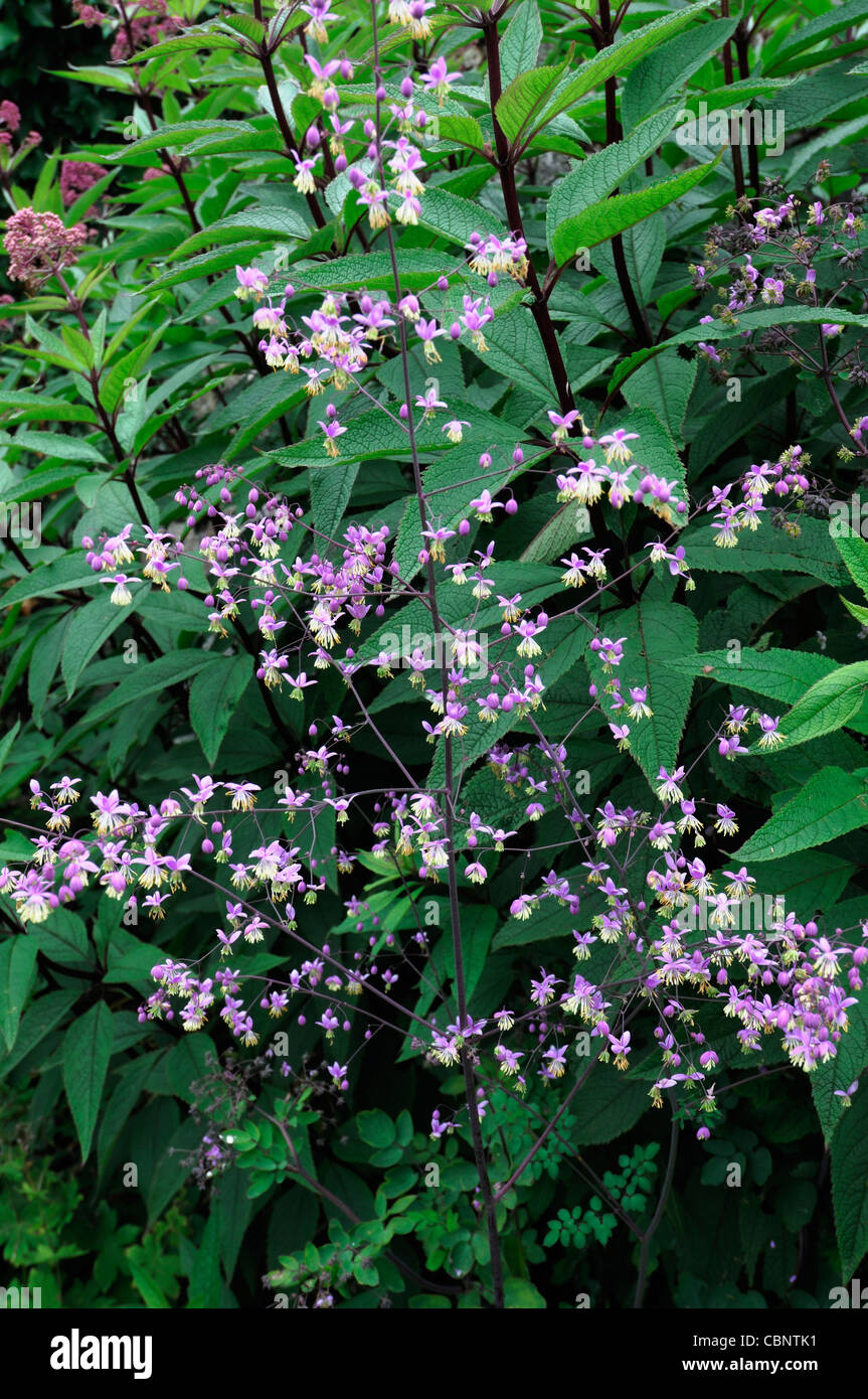 Artemisia lactiflora Guizhou white mugwort spray flowers blooms blossoms musk scented red-brown stems ferny black Stock Photo