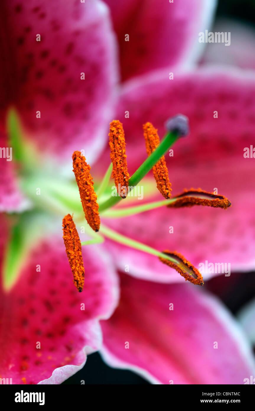 Lilium Stargazer Lily Flowers Blooms Flowering Closeups Close Ups