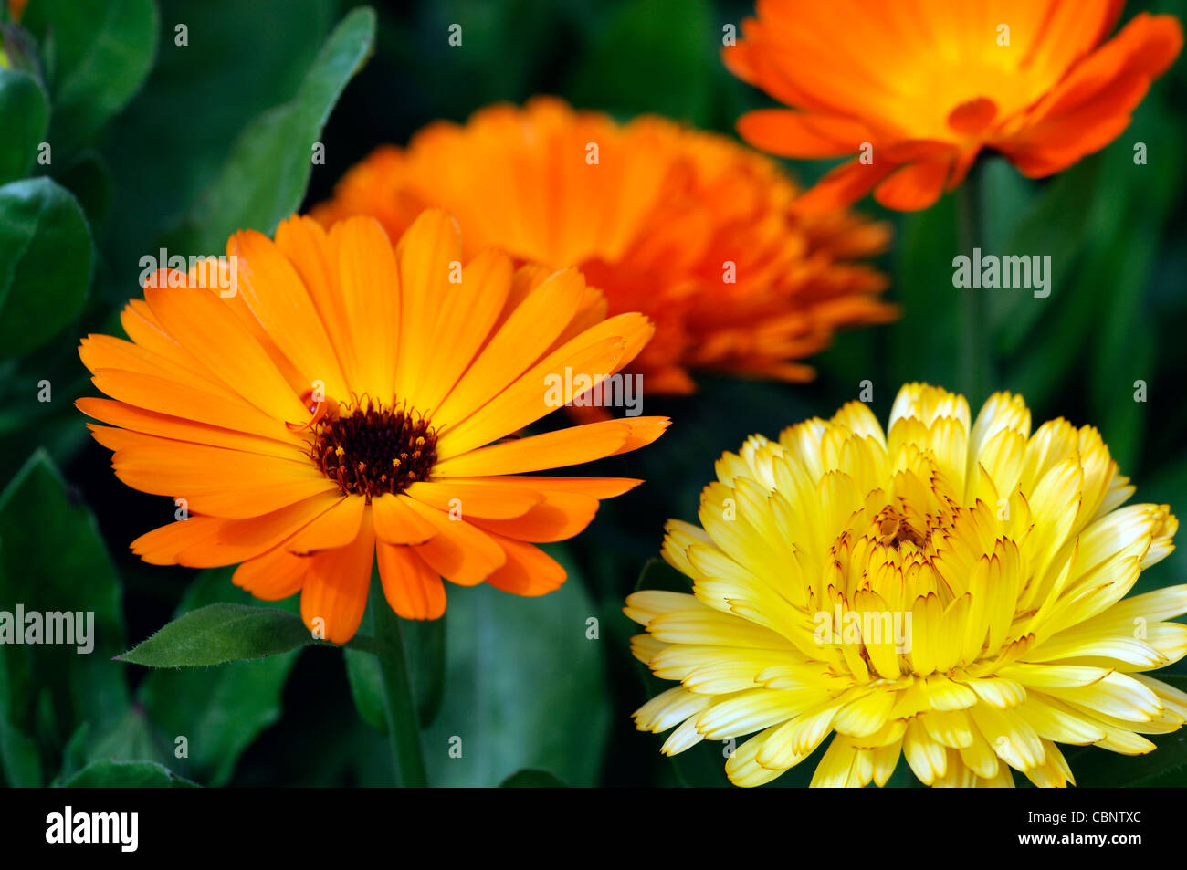 Calendula officinalis art shades mixed english pot marigold flowers calendula officinalis art shades mixed english pot marigold flowers blooms blossoms annual plant orange yellow gold mightylinksfo