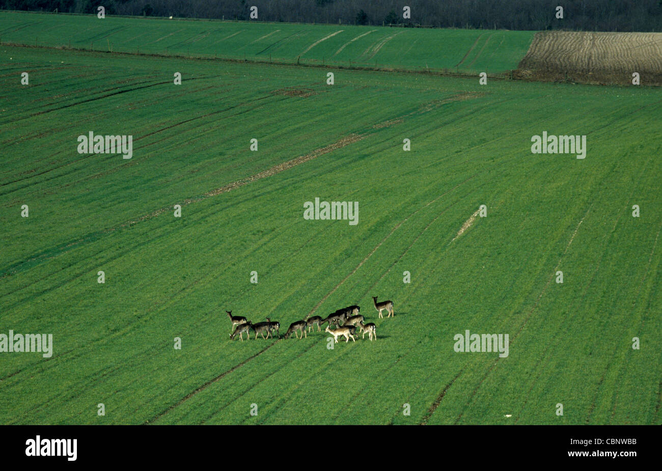 A herd of roe deer in a young wheat crop - Stock Image