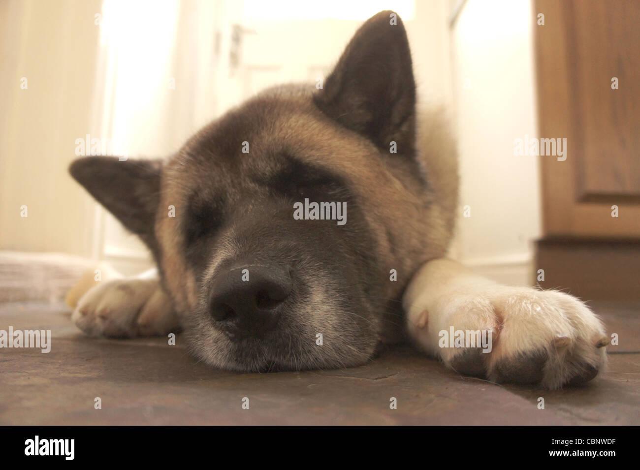 SONY DSC , Japanese Akita dog asleep, - Stock Image
