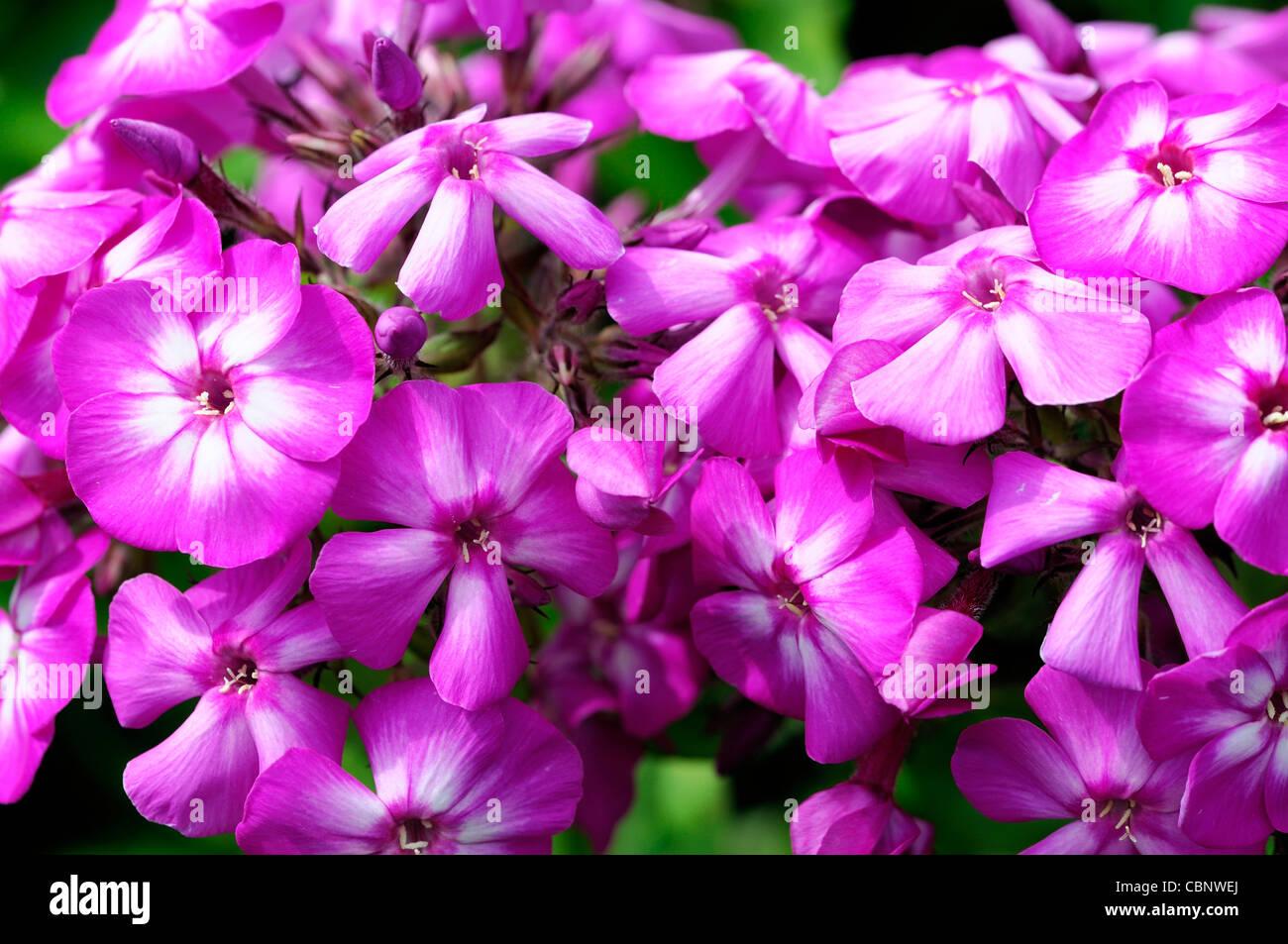 Phlox Paniculata Amethyst Garden Phlox Violet Purple Perennial Stock