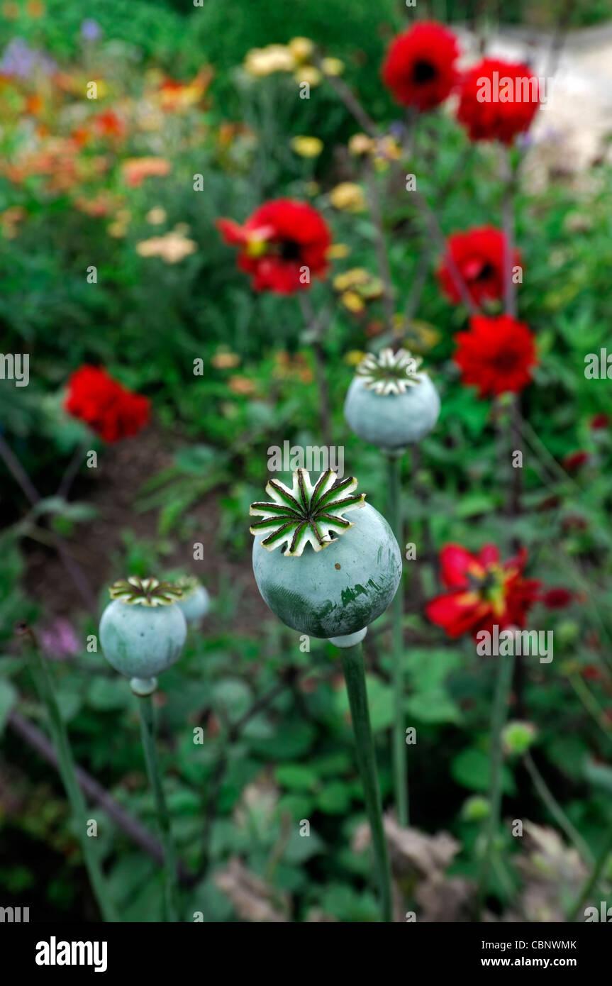Papaver Orientale Oriental Poppy Seedheads Seed Heads Seed Pods
