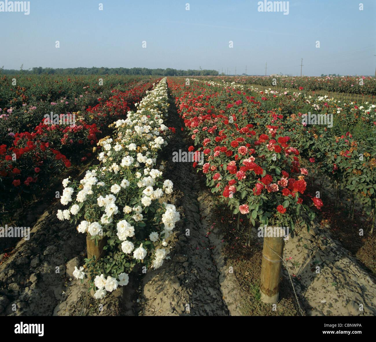 Nursery field rose crops in flower, California, USA - Stock Image