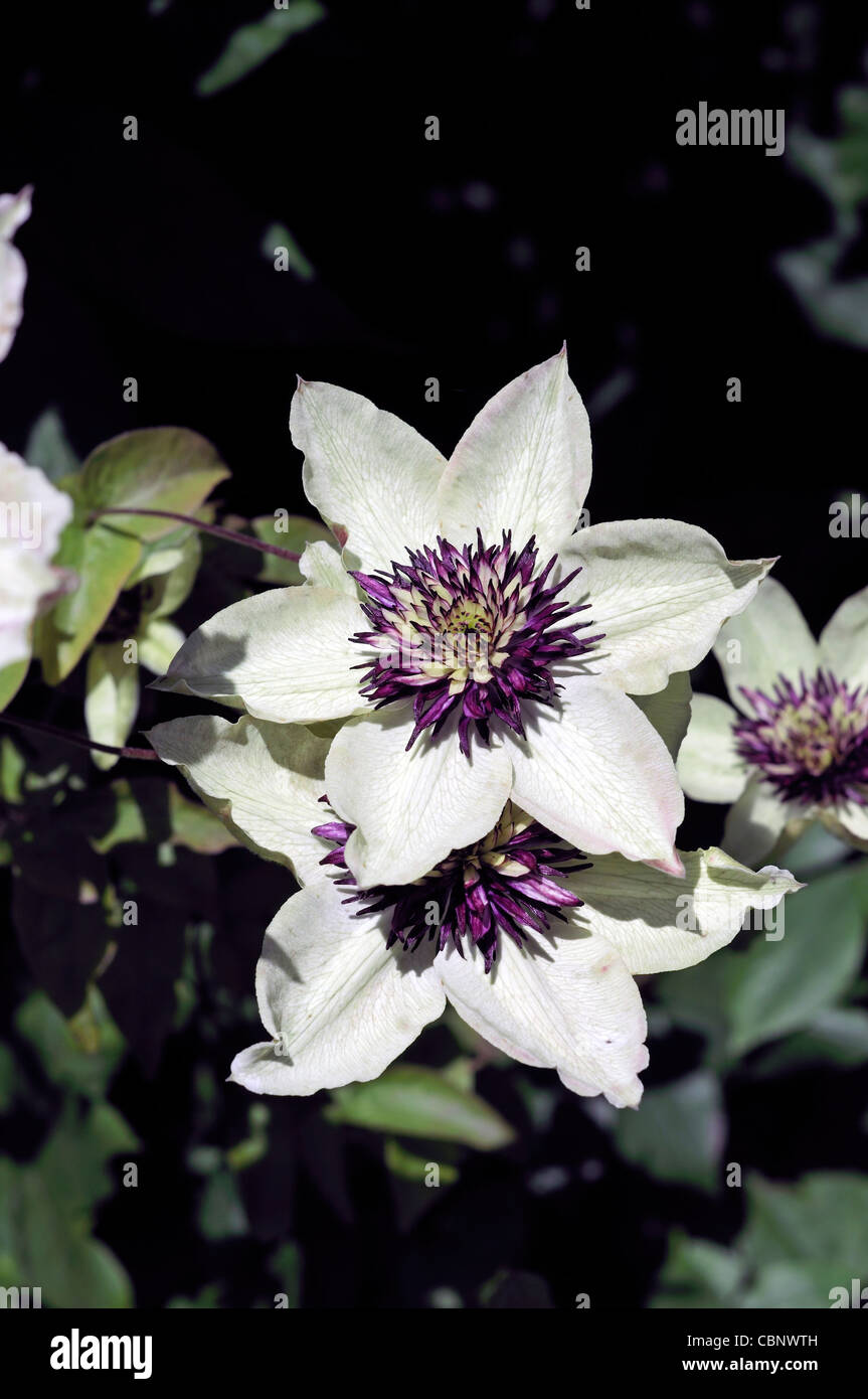 Clematis Sieboldii Florida Purple White Flowers Fully Double Climber