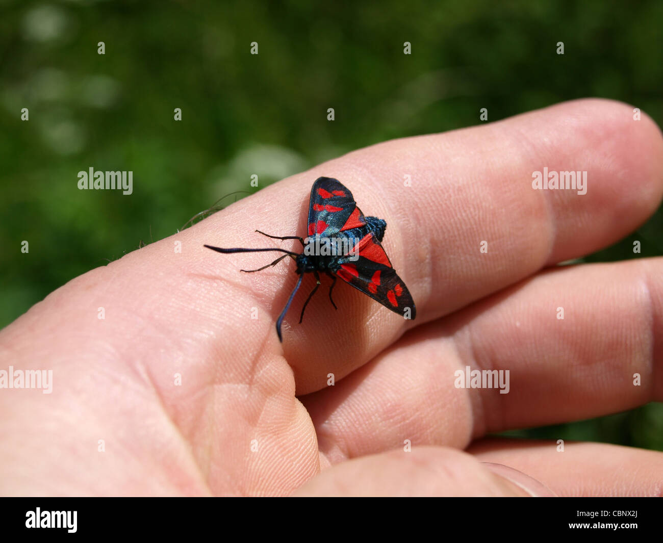 Six-spot Burnet on a hand / Zygaena filipendulae / Erdeichel-Widderchen, Sechsfleck-Widderchen auf einer Hand - Stock Image