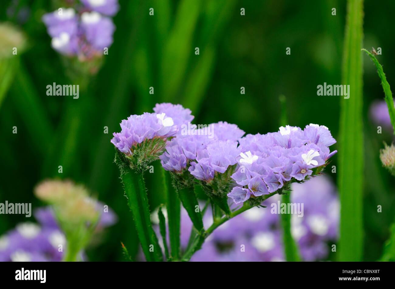 Statice sinuata Sunburst pale blue Limonium flowers bloom blossom annual Sea Lavender Statice Marsh-rosemary  distinctive - Stock Image