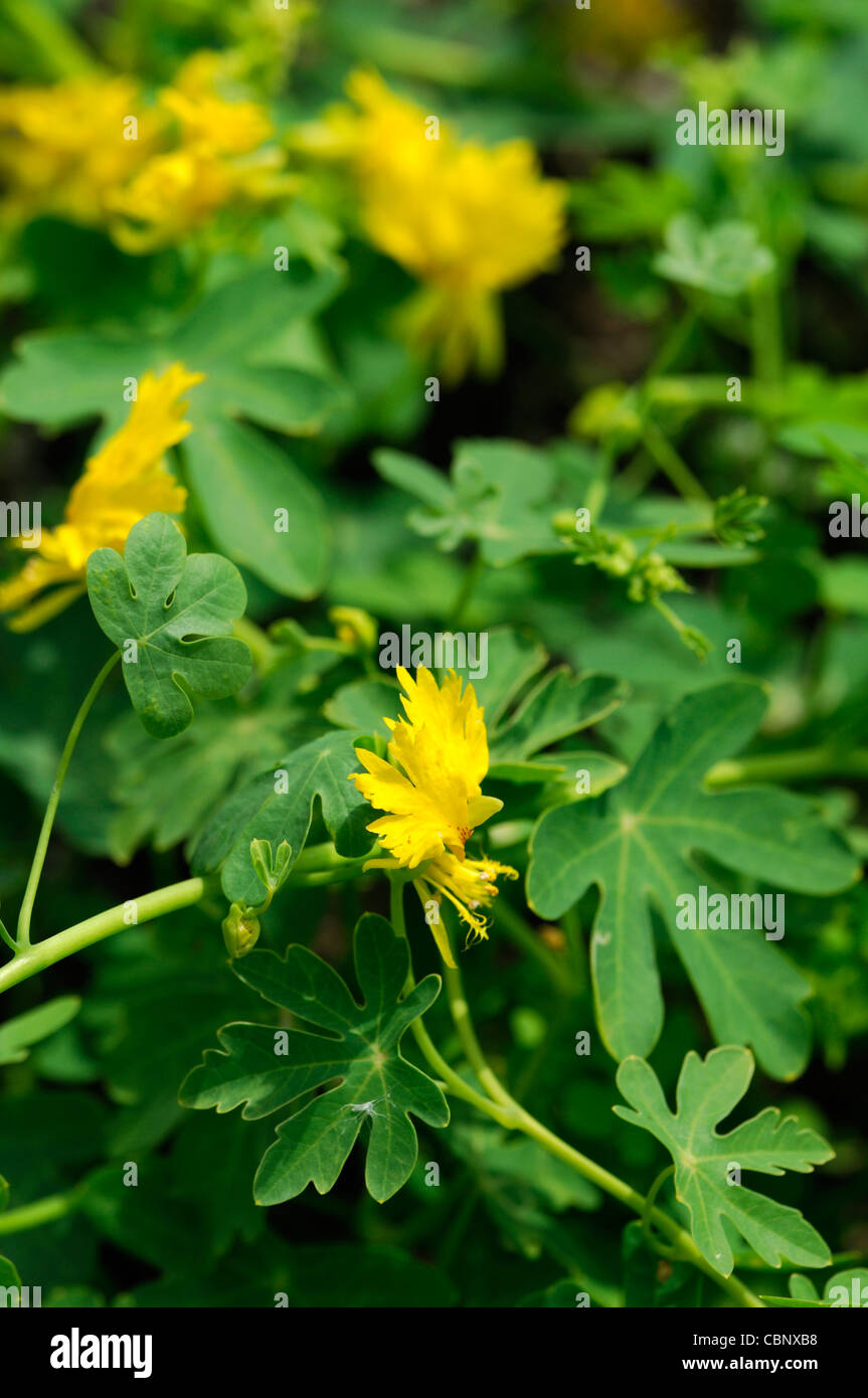 Tropaeolum Peregrinum Canary Creeper Summer Closeup Plant Portraits