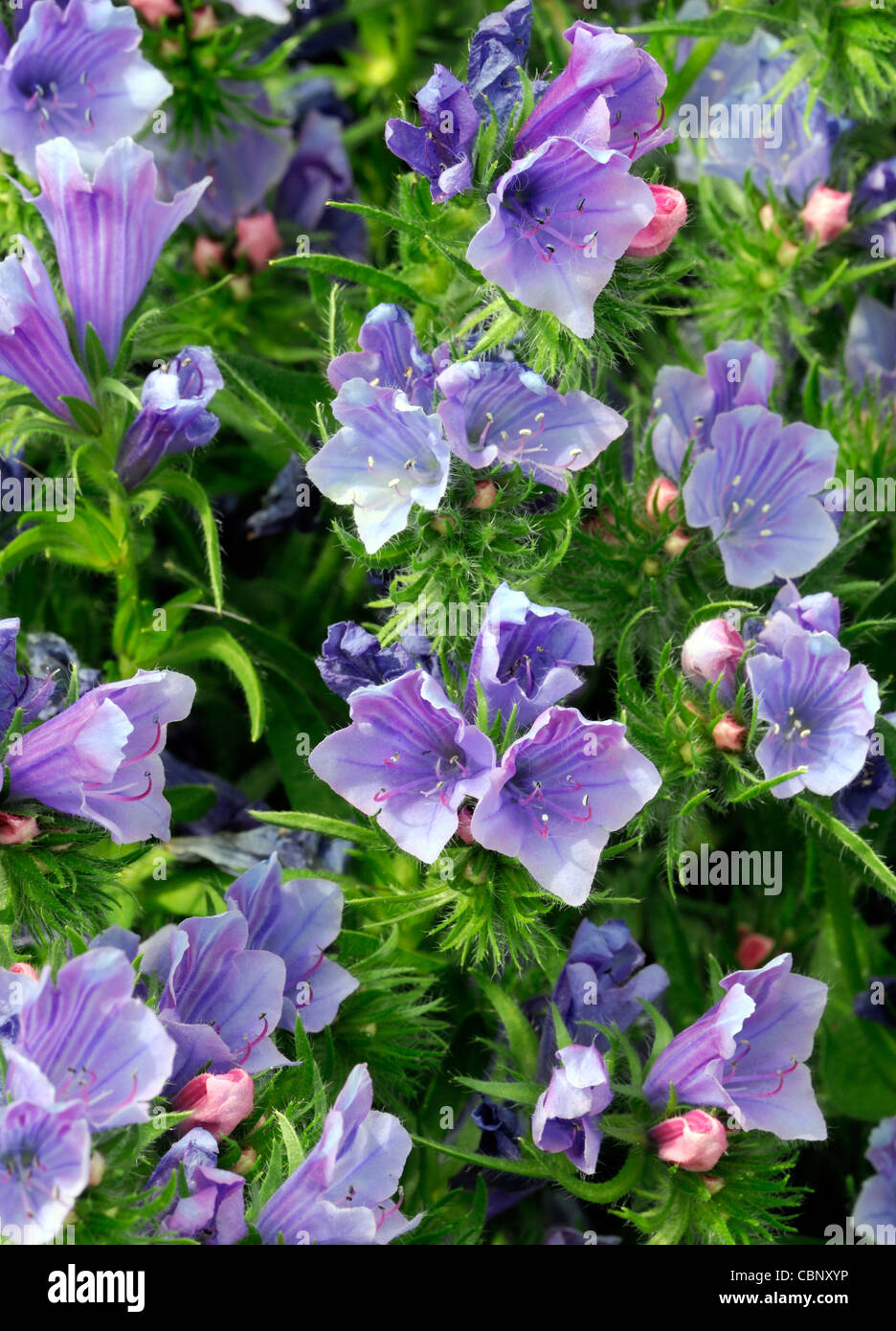 Echium Vulgare Vipers Bugloss Blue Purple Perennials Flowers Bloom
