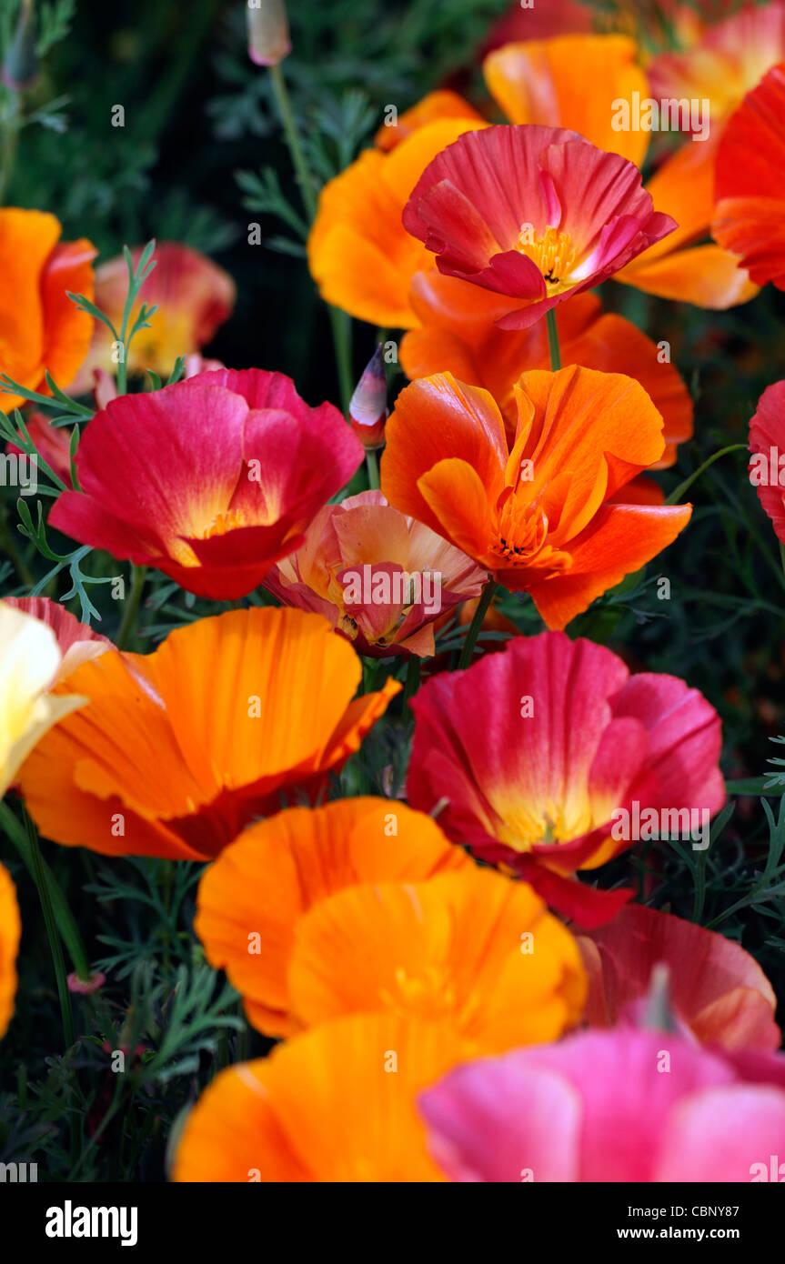 Eschscholzia Californica Thai Silk California Poppy Semi Double