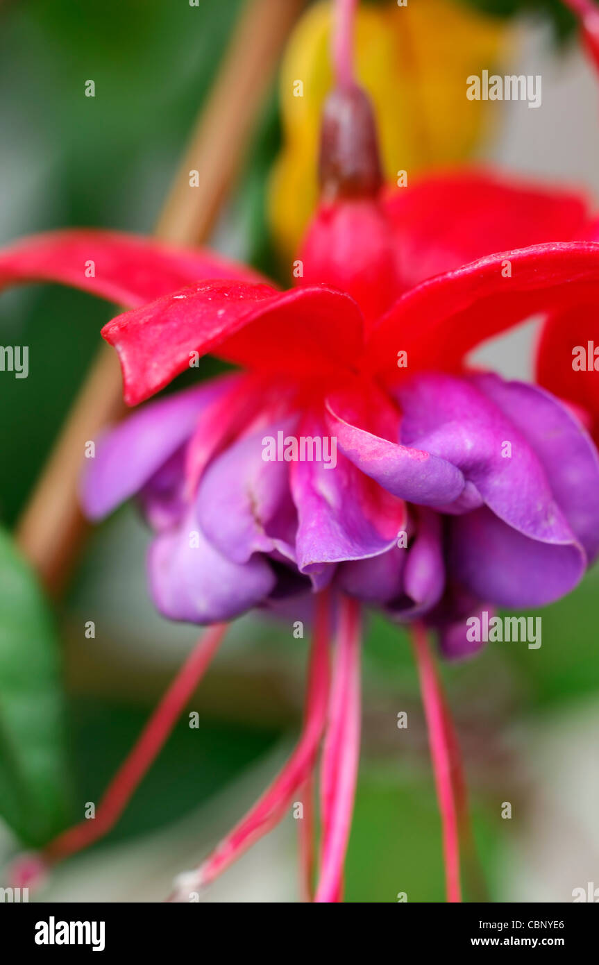Fuchsia Blue Eyes trailing deciduous shrub double deep pink purple lavender flowers blooms blossoms perennial - Stock Image