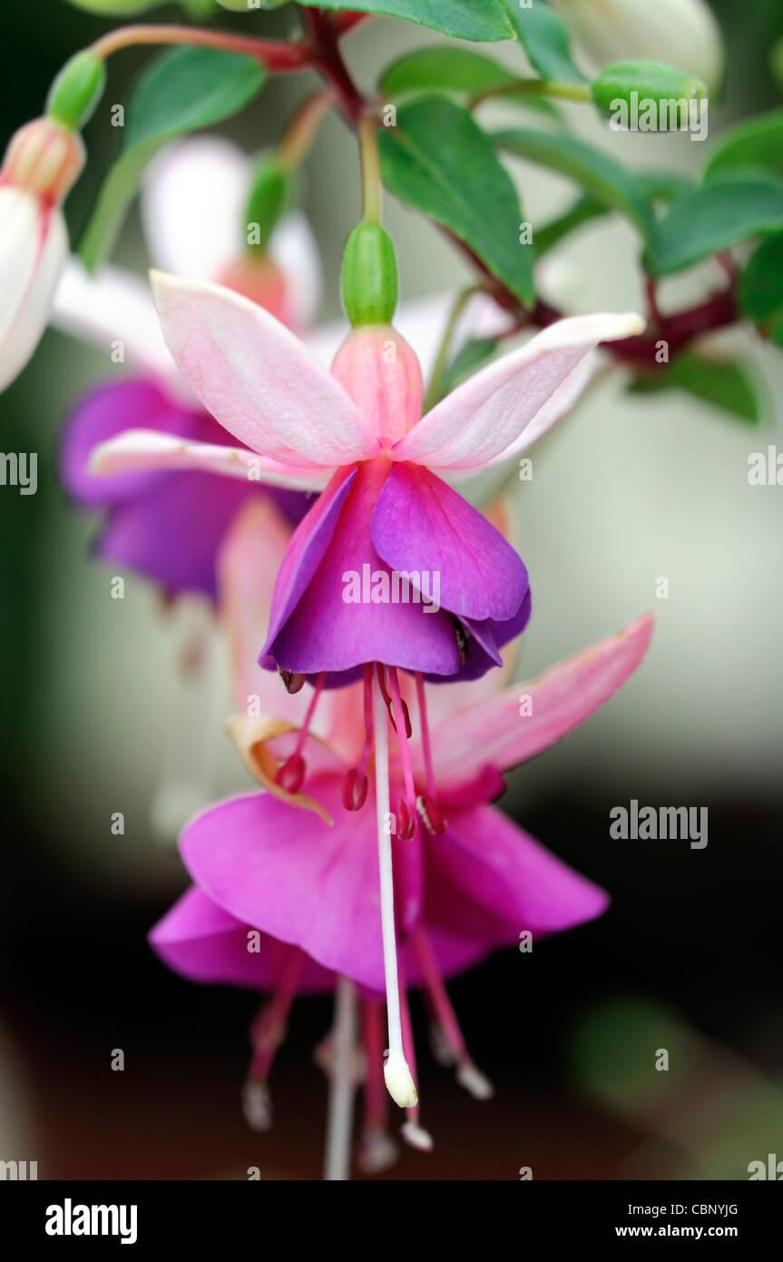 Fiori Campanelle.Fuchsia La Campanella Semi Double Pendular Flowers White Tubes