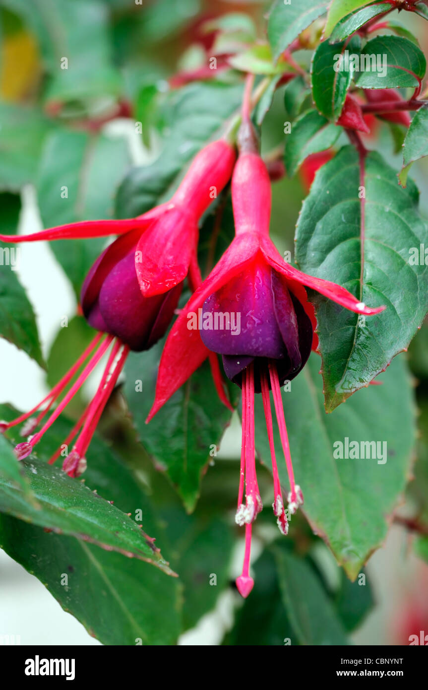 Fuchsia mrs popple closeup plant portraits bright pink purple petals fuchsia mrs popple closeup plant portraits bright pink purple petals hanging pendulous flowers stemen selective focus mightylinksfo