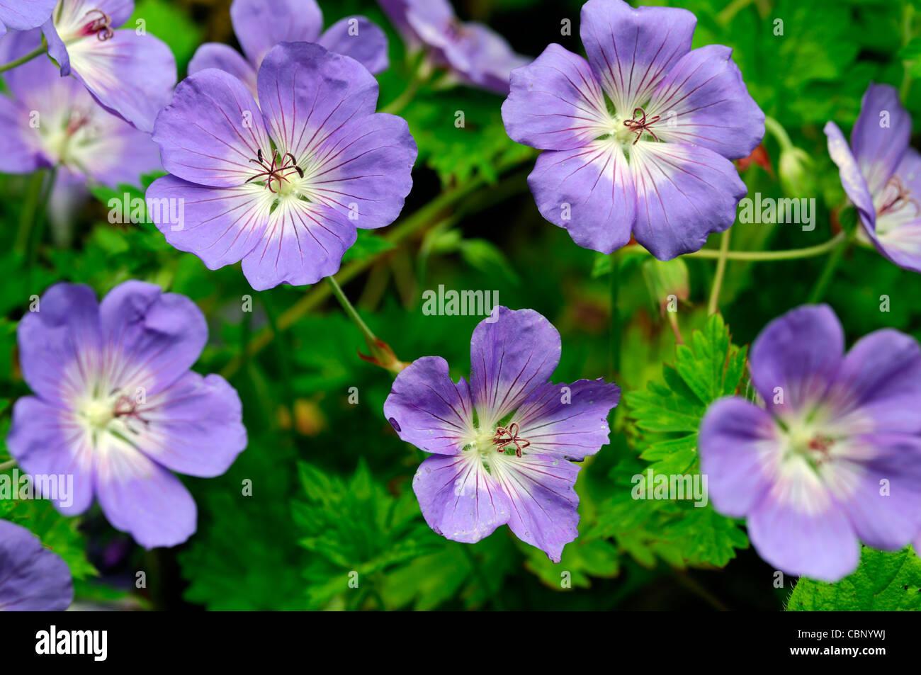 Geranium himalayense purple blue perennials flowers petals plant geranium himalayense purple blue perennials flowers petals plant portraits cranesbills summer closeup selective focus izmirmasajfo